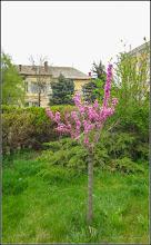 Photo: Arborele de Iudeea (Cercis canadensis) - din Turda, pe Str. Andrei Muresanu, spatiu verde - 2019.04.18