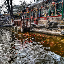 Koi pool in Beijing by Francisco Little - Instagram & Mobile Android ( red, koi, china, beijing, lake )