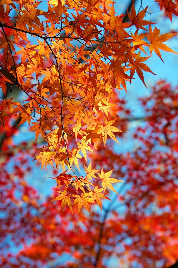 Japanese maple in autumn by Paul Atkinson - Nature Up Close Trees & Bushes ( palmatum, acer, yellow, japanese, maple, sky, japan, tree. red, nature, color, autumn, blue, outdoors, fall )