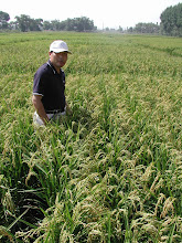 Photo: Dr. Jin Xueyong, NEAU, in 3-S rice field in Heilungjiang province, 2004. [Photo by Norman Uphoff]