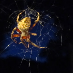 Night Spider by Donna Bell - Animals Insects & Spiders