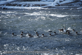 Photo: Common Goldeneye (Bucephala clangula) a flock on the Firehole river in Yellowstone National Park, Wyoming.