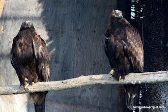 Photo: Golden eagles at the bird breeding facility