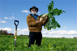 Photo: By early November the forage radish cover crop is at peak biomass, N uptake and fleshy root development. The size of the fleshy root (Daikon type radish can be harvested for market) depends mainly on soil fertility, seeding rate (crowded plants produce smaller roots). Photo: Remsfeld.