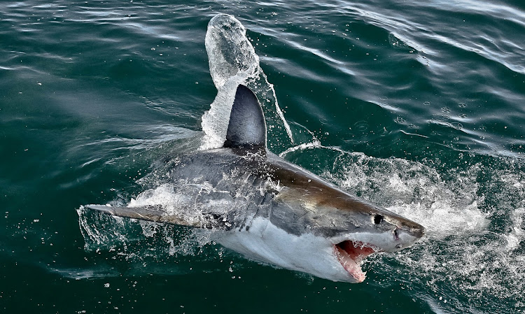 File photo of a great white shark. South African National Parks marine biologist Alison Kock confirmed on Monday that a fourth shark was found dead at Pearly Beach with wounds suggesting orca predation.