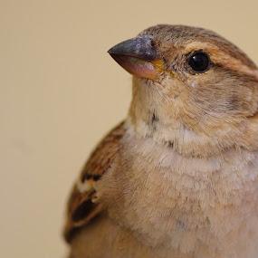 housebsparrow by Dr. Mahendra singh Rathore - Animals Birds