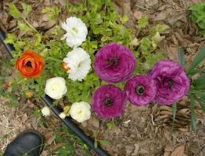 Photo: Ranunculus