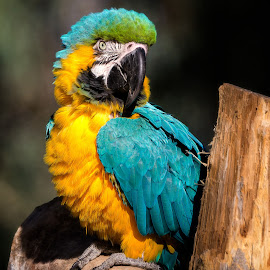 Blue and Yellow Macaw by Dave Lipchen - Animals Birds ( blue and yellow macaw )
