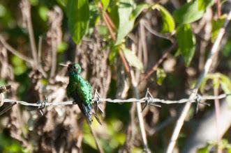Photo: Canivet's Emerald (Gabelschwanzkolibri); Bacalar, QROO
