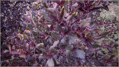 """Photo: Fizocarp roșu """"Diabolo"""" (Physocarpus opulifolius """"Diabolo"""")"""