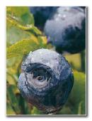 http://www.mirto-plus.net/export/sites/mirto/vi/vn/images/elements/bilberry.jpg