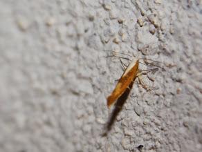 Photo: Argyresthia albistria  Lepidoptera > Argyresthiidae