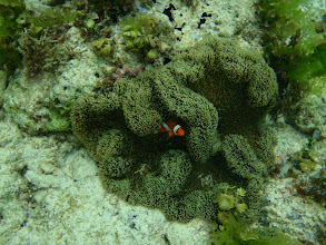 Photo: Stichodactyla gigantea (Giant Carpet Anemone), Amphiprion ocellaris (Ocellaris Clownfish), Siquijor Island, Philippines