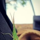 Cone-headed grasshopper