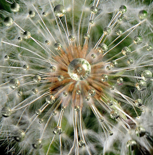 Dandelion Drops by Susan Farris - Nature Up Close Gardens & Produce ( water, wild flower, dandelion, drops, spring, garden, rain, pwcflowergarden-dq, , contest, photography, theme, tradition, culture, mind, challenge, backyardmarvels, amazingworlds, circle, pwc79, shapes geometric patterns  )