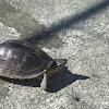 Malayan box turtle