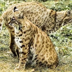 Bobcat_Pair_HDRT.jpg