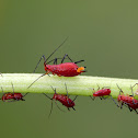Goldenglow Aphid