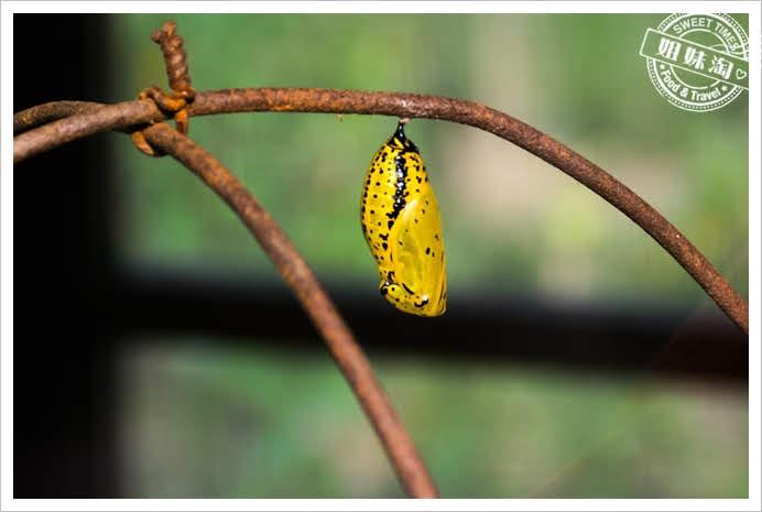 金獅湖蝴蝶園蛹