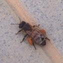 Ape - Western Honeybee