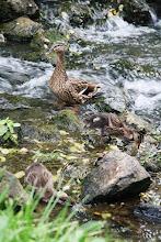 Photo: quack, quack, gurgle