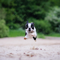 Boston Terrier Dogs Wallpapers icon