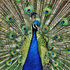 Struttin his Stuff by Andrea Everhard - Animals Birds ( bird, wildlife, peacock )