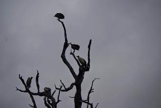 Photo: Vultures