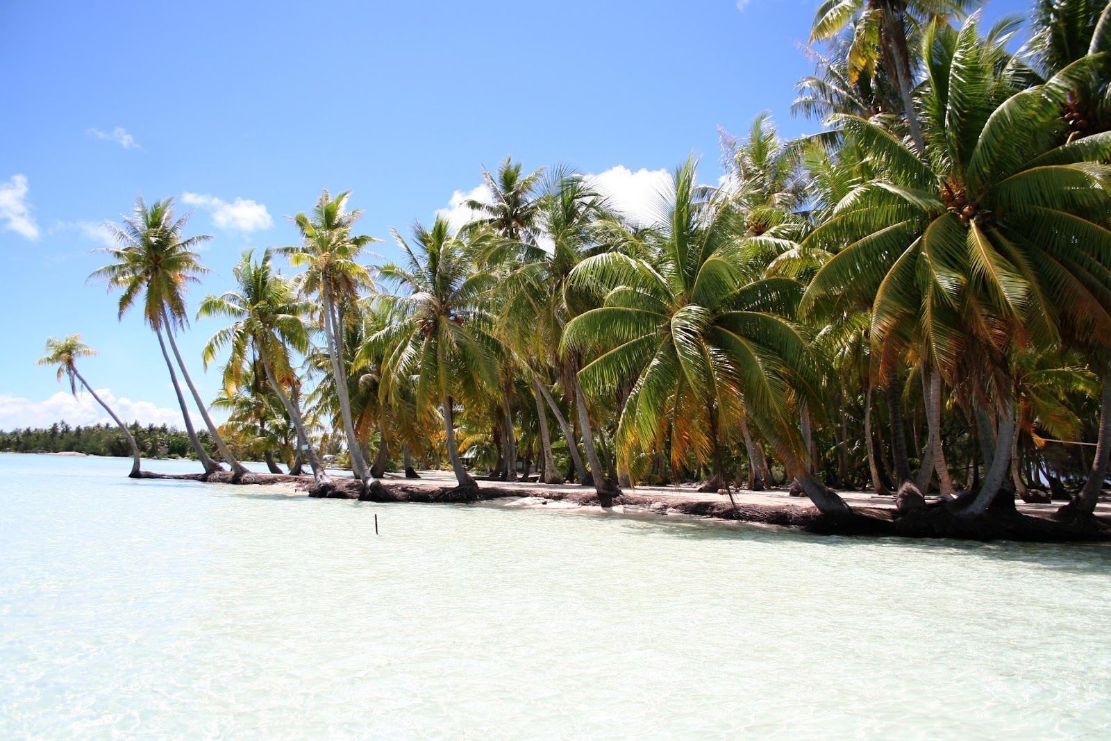 coconut tress on the beach
