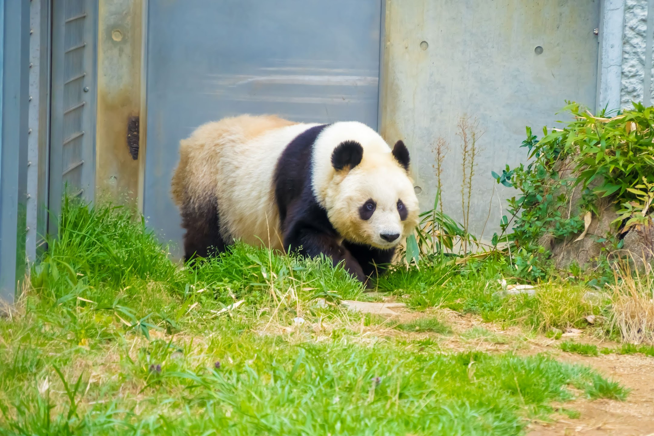 Kobe Oji Zoo giant panda1