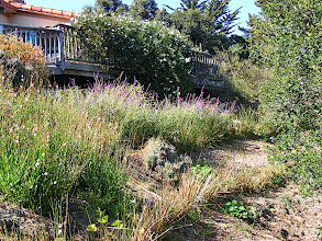 Photo: A smaller vetiver planting in the Santa Barbara foothills. Rainfall runoff from the roofs and the deck visible at top of photo contributed to slope saturation. Note that vetiver, rather than competing with other plants, improves the microclimate between hedgerows, thus providing better conditions for plant growth.