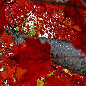 Red Leaves  by Ellason Boyle - Nature Up Close Trees & Bushes ( different, red, tree, colorful, fall, leaves, angle )