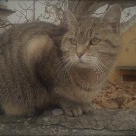 Czech cat by Luboš Zámiš - Animals - Cats Portraits
