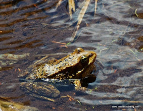 Photo: Cascades frog at Trout Creek Swamp, Sisters, OR