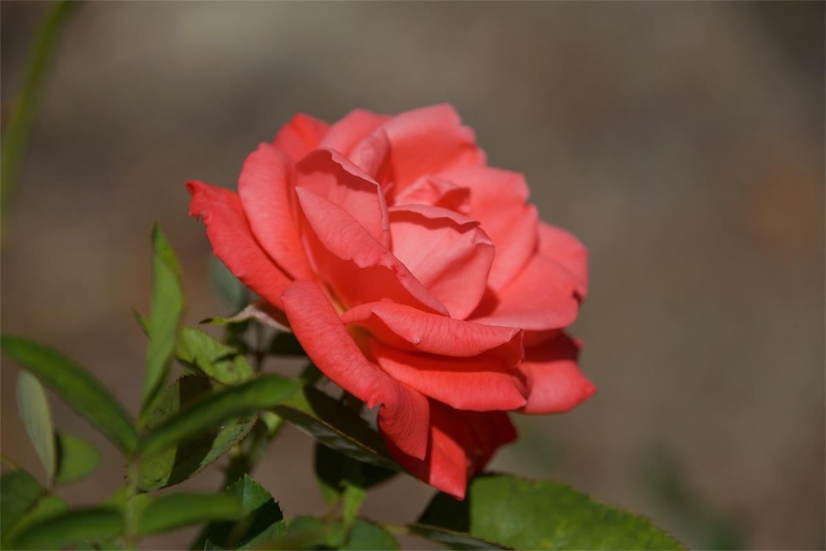 Rose On 3.jpg