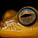 Coorg Yellow Bush Frog
