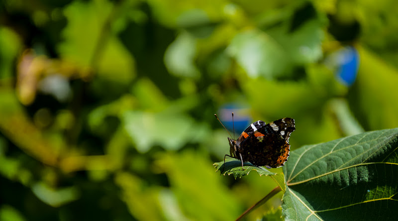 farfallina..... di gianluca_simotti