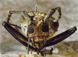 Photo: Detail of Wallace's longhorn beetle (Batocera wallacei). © National Museum of Wales & Fred Edwards