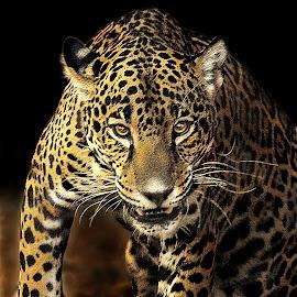 Fierce by Shawn Thomas - Digital Art Animals (  )