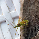Pale Green Assassin Bug