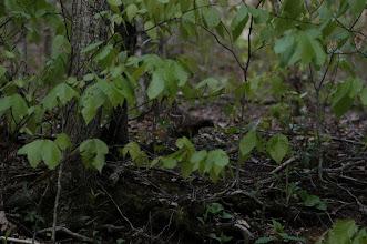 Photo: ruffed grouse