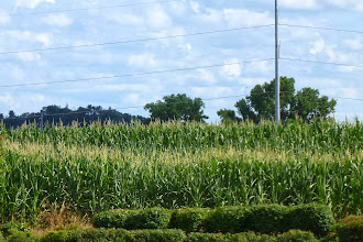 Photo: Which isn't to say we saw nothing. Here's some corn.