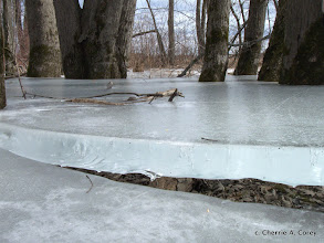 Photo: Ice platforms in floodplain forest