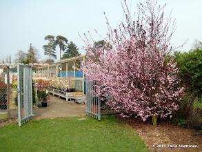 Photo: Jälleen yksi villikirsikkapuu kukassaan. Hadlow, maaliskuu 2011-