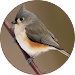 Birds Sounds Relax and Ringtones Icon