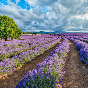 Lavender landscape by Brent McKee - Landscapes Prairies, Meadows & Fields ( clouds, tasmania, lavender field, purple, summer lavender, landscape, lavender, bridestowe lavender farm )