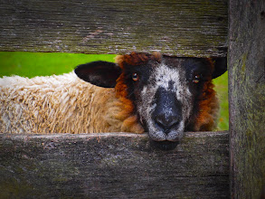 "Photo: ""Lookin' at Ewe"" ~ Waterford, VA © 2011 Skip Hunt :: kaleidoscopeofcolor.com"