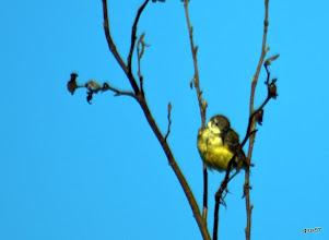 Photo: желтая трясогузка, слеток
