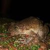 Karnataka Night frog