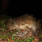 Karnataka Night frog